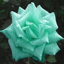 green roses 200 mint green seeds butterflies garden