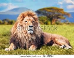 imagenes de leones salvajes gratis leones imágenes gratis en pixabay ciervo pinterest imágenes