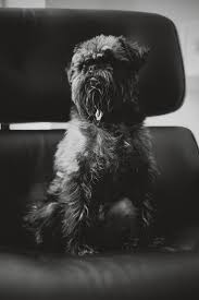 affenpinscher reviews 96 best helpful pet advice and info images on pinterest health