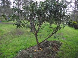 forum transplanting citrus trees