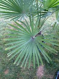 21 best palms images on palms palm trees and fan palm