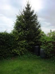 planting christmas trees in small back gardens word on a whim