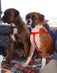 boxer dog kidney problems signs symptoms and treatments of 5 common diseases in boxer dogs