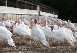 when is thanksgiving 2013 thanksgiving turkey here u0027s why they u0027ll be more expensive than