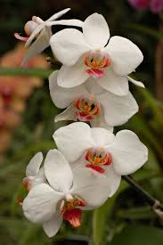 white orchid flower file orchid cultivar white flowers 2000px jpg wikimedia commons