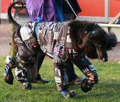 afghan hound tattoo how crufts turned into a cat walk for dogs as canine u0027s don onesies