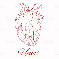 Borders Of The Heart Anatomy Vector Sketch Of The Real Heart Stock Vector Art 479061520 Istock