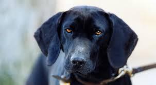 afghan hound of america plott dog breed information american kennel club