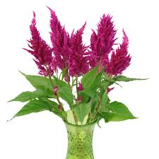 celosia flower berry feather celosia flower