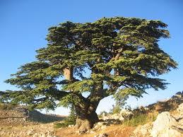 9 best cedar trees images on cedar trees alaska and