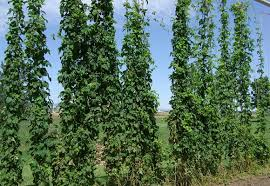 Low Trellis Hops Who Grows Hops Pirate4x4 Com 4x4 And Off Road Forum