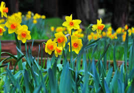planting and growing daffodils