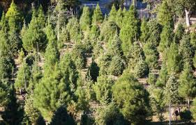 where to cut your own buy christmas trees in slo county the tribune