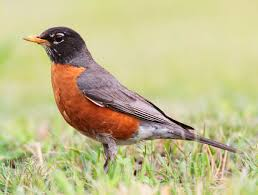 Connecticut Birds images American robin wikipedia jpg