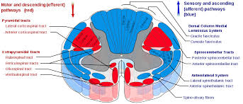 Pyramids Of The Medulla Lateral Corticospinal Tract Wikipedia