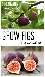Vegetables For Container Gardening by Container Gardening How To Grow A Fig Tree In A Pot Fig Tree