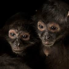 spider monkeys national geographic