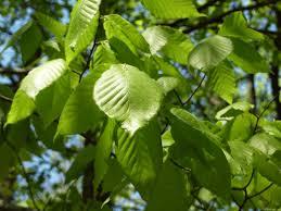 mlewallpapers com spring birch leaves