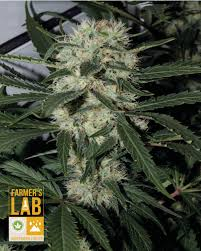 northern lights yield indoor buy northern lights strain for the sale farmer s seed lab