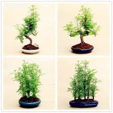 mini plants 50pcs mini sequoia bonsai tree decoration plants for home garden