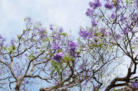 tree with purple flowers blooming with purple flowers jacaranda tree branches against