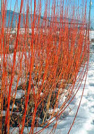 pruning willows for ornamental effect coppicing and pollarding