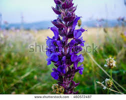 salvia flower salvia flowers stock images royalty free images vectors