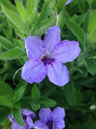 native mexican plants ruellia humilis wild petunia u2013 natural communities llc