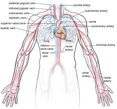 Heart Anatomy Arteries Illustrations Of The Blood Vessels Cleveland Clinic
