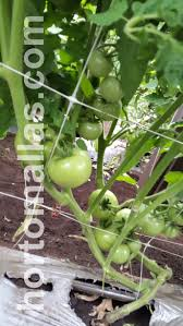 tomato photo gallery hortomallas supporting your crop