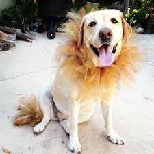 Funny Halloween Costumes Dogs 25 Lion Costume Dog Ideas Pet Costumes