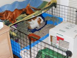 Cages For Guinea Pigs Guinea Pigs Vs Rabbits Cleaning Up Hunting4alifelinecareer