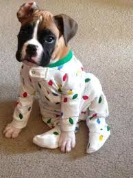 boxer dog funny best 25 white boxer puppies ideas only on pinterest white boxer
