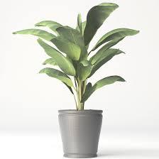 beautiful indoor banana plant contemporary interior design ideas