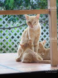 ginger mother cat and twin kittens nursing stock photo 615513648