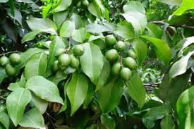 genip a lovely ornamental fruit plant nurserylive