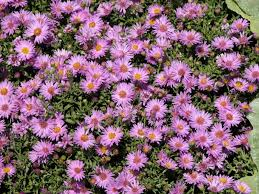 flowers and plants allergy sufferers need to avoid
