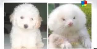poodle vs bichon frise ferrets sold as toy poodles argentina pet dealers reportedly