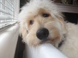 how to cut a goldendoodles hair 15 best doodle cuts images on pinterest doggies doodle dog and