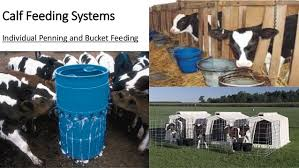 Backyard Dairy Cow Dairy Management