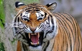 national animal of india royal bengal tiger an essay