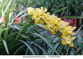 Orchid Cut Flowers - cymbidium stock images royalty free images u0026 vectors shutterstock