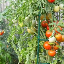 best 25 staking tomato plants ideas on pinterest tomato support