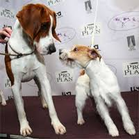 bluetick coonhound westminster the westminster dog show begins today dogtime