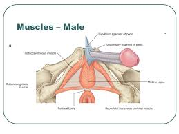 Male Anatomy Perineum Pelvis Perineum Ppt Video Online Download