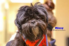 affenpinscher for adoption kcas pets of the week spike and missy woodtv com