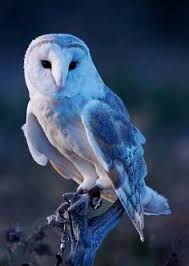 barnowl ohh wow such incredible photography birds