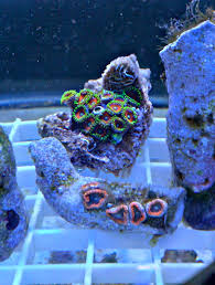 led lighting for zoanthids pics from my zoanthid frag tank lotsa pics my diy cree led