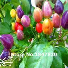 high quality ornamental pepper edible promotion shop for high
