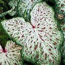 amazon com 3 spectacular gingerland dwarf caladium bulbs root